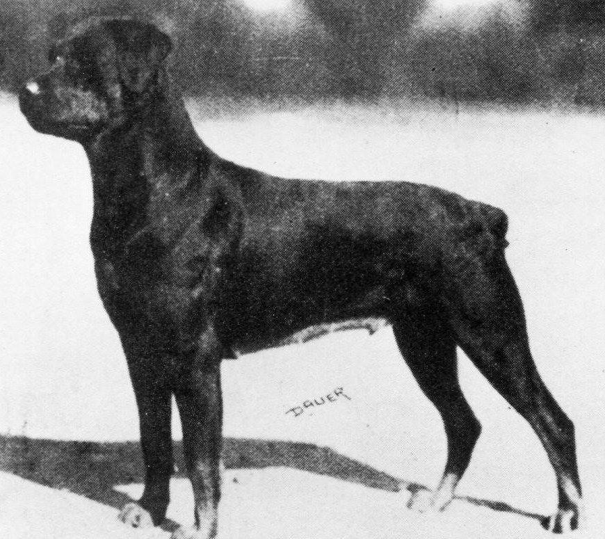 Korabeli Rottweiler fotó