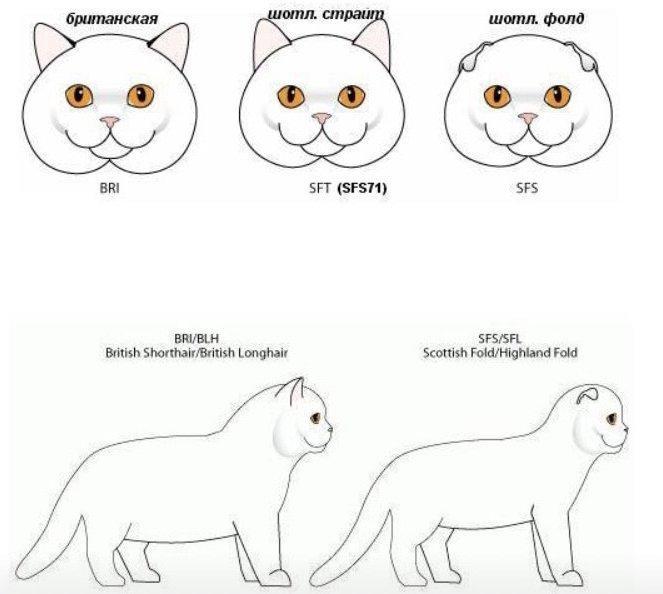 Különbség a Brit és Skót macskák külleme között