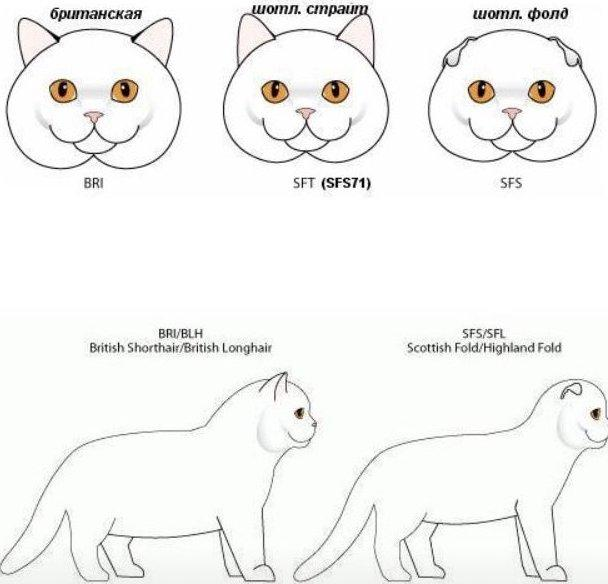 Különbség a Brit és Skót macskák megjelenése között