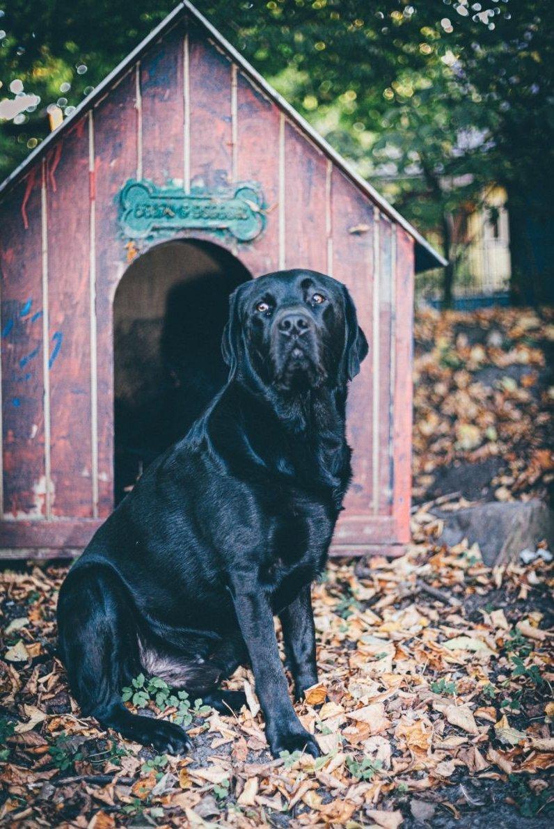 Labrador kutyaház előtt