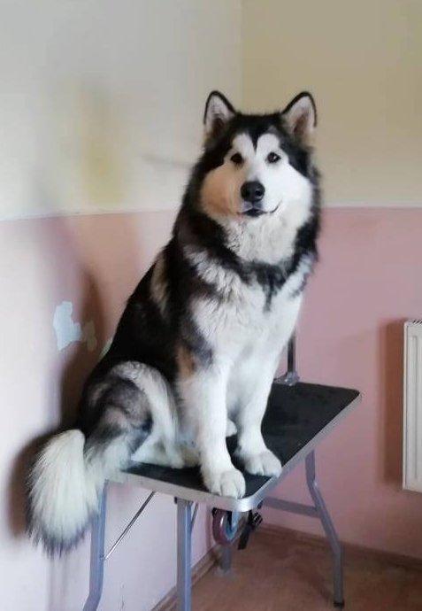 Malamut a kutyakozmetikában, (Fotó: Magic mals kennel Facebook oldala)
