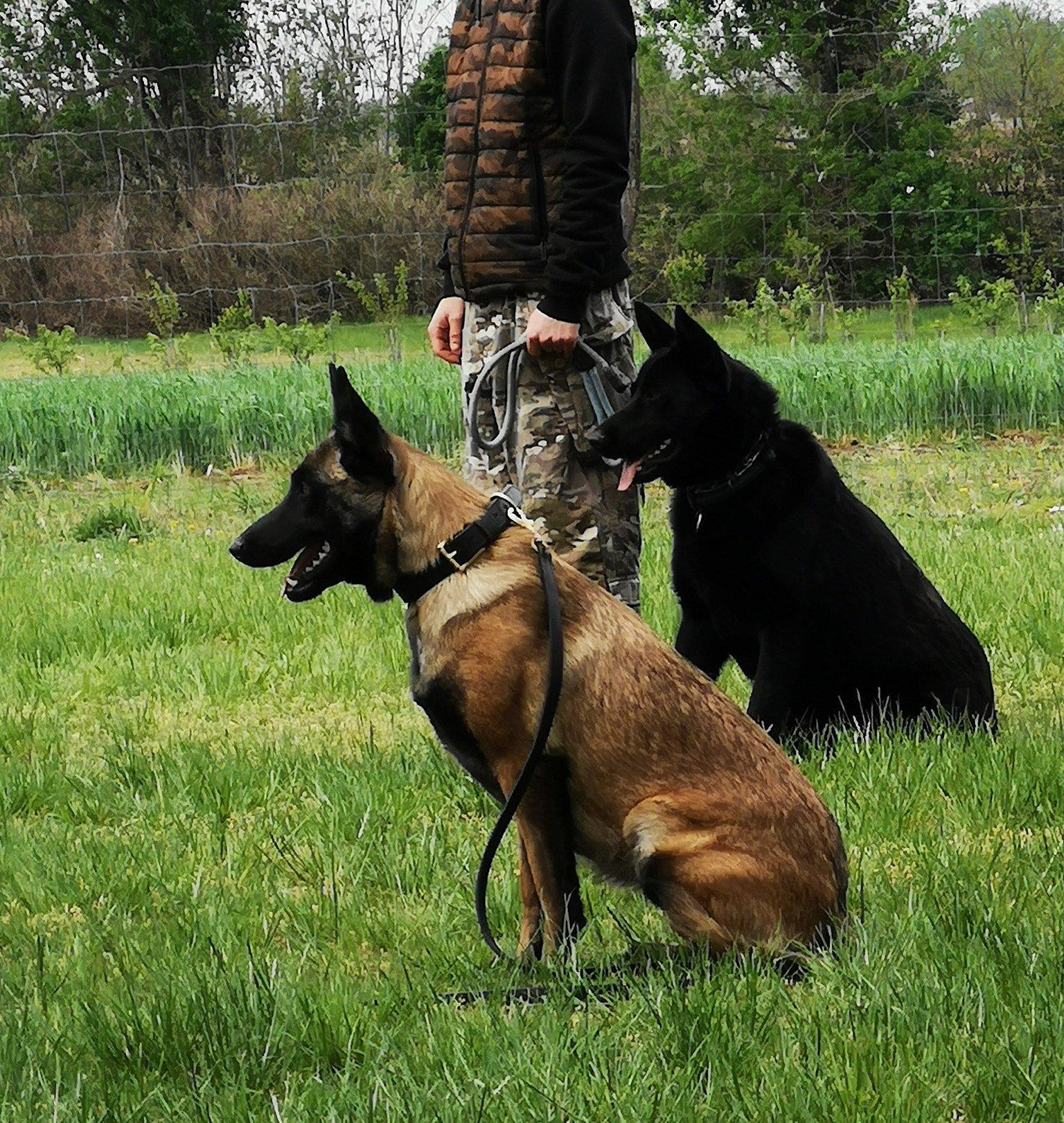 Malinois a kutyaiskolában