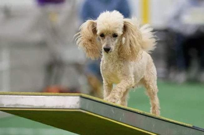 Louis a legöregebb agility versenyző,Forrás: hebergementwebs.com