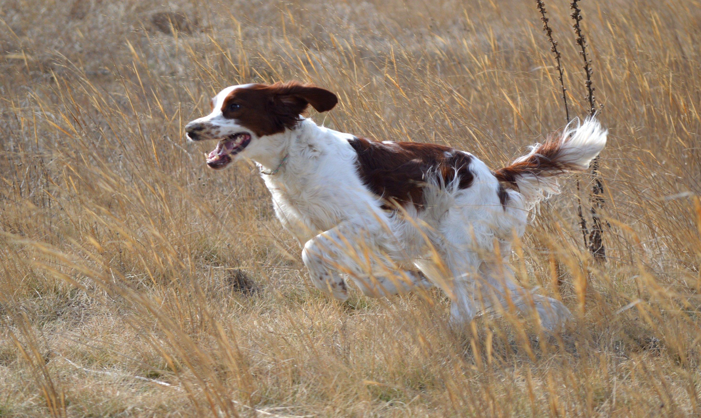 Mezőn futó kutya