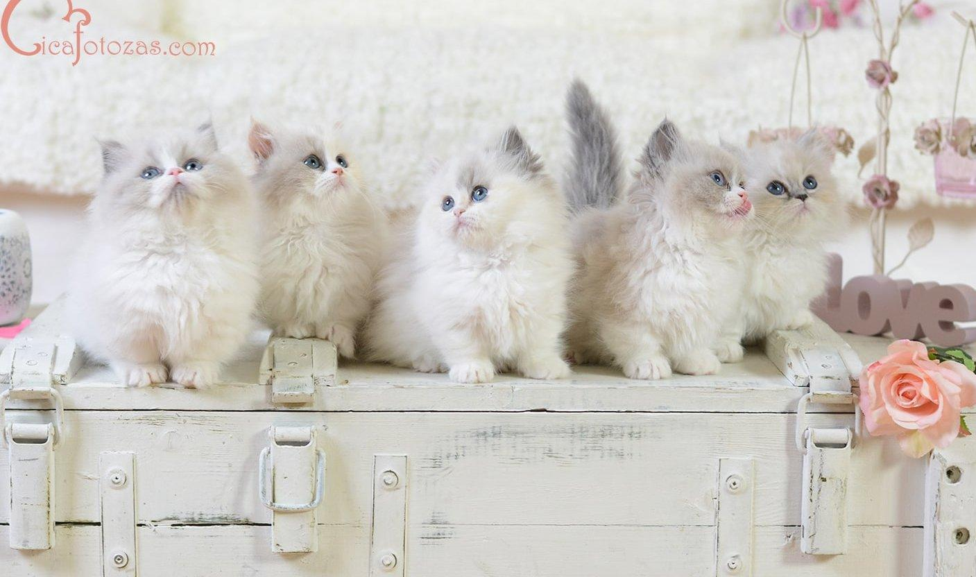 Kölyök Munchkin cicák