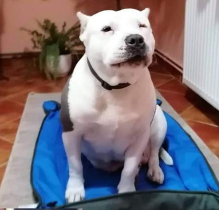 Mentett bull típusú kutya, új otthonában