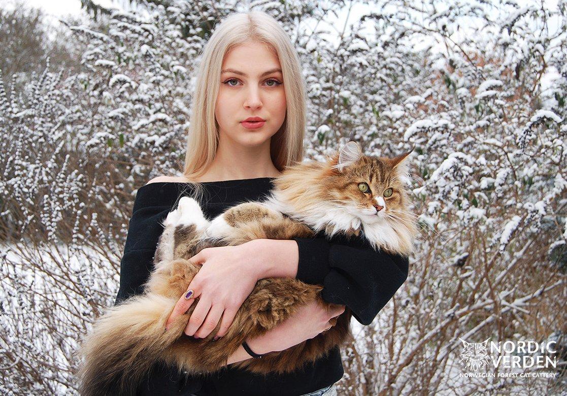 Norvég erdei macska fekszik gazdája karjában