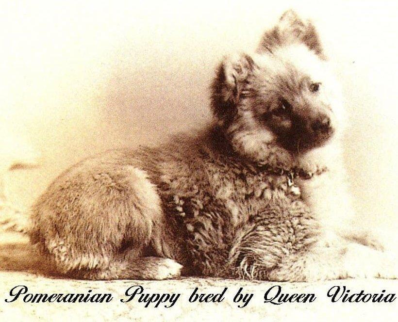Viktória királyné által tenyésztett Pomi, forrás: novocom.top