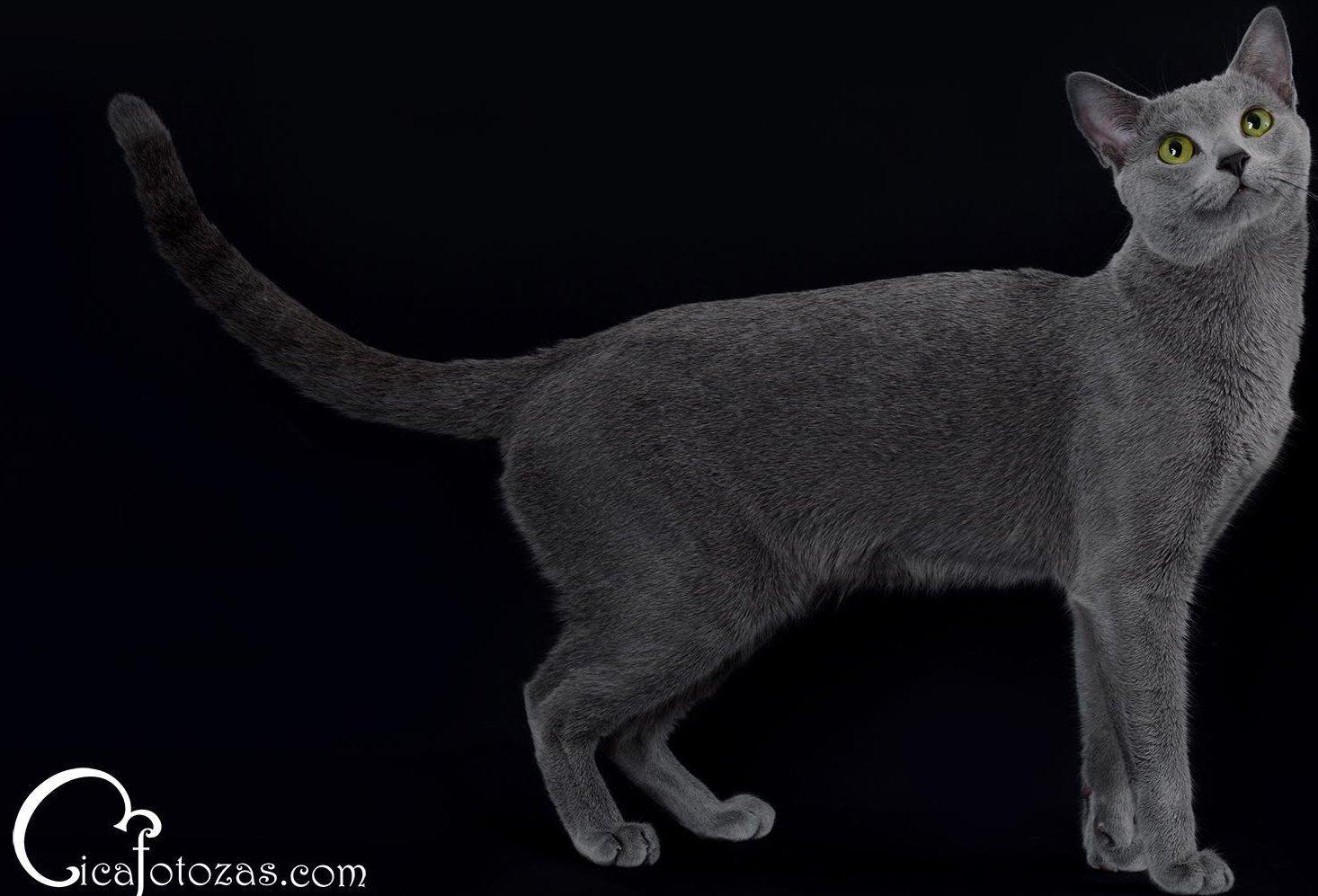 Orosz kék macska megjelenése