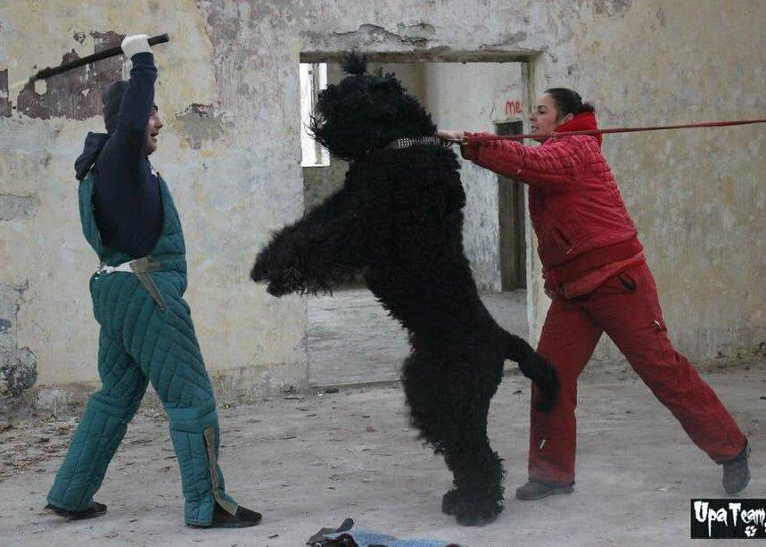 Őrzővédőző Orosz fekete terrier