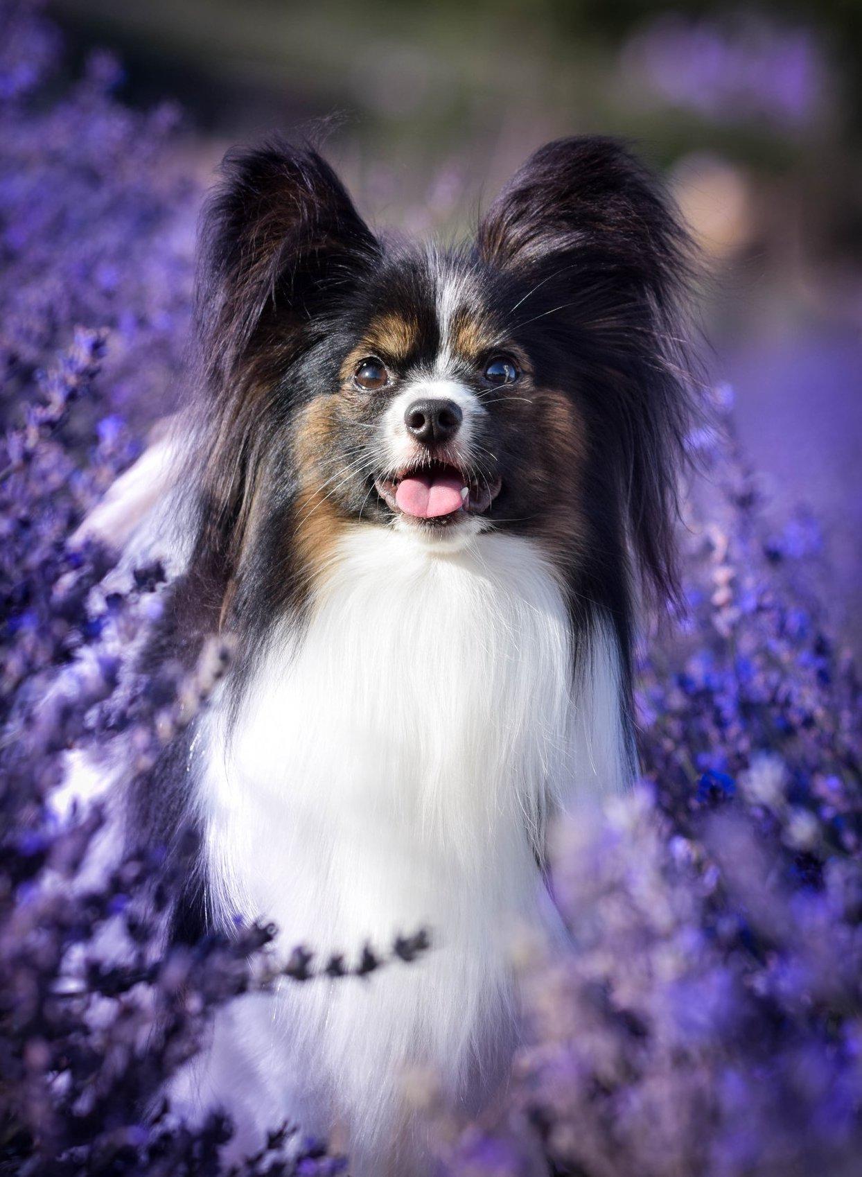 Kis kutya a levendulában