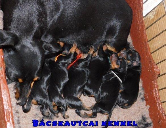 Pincser család