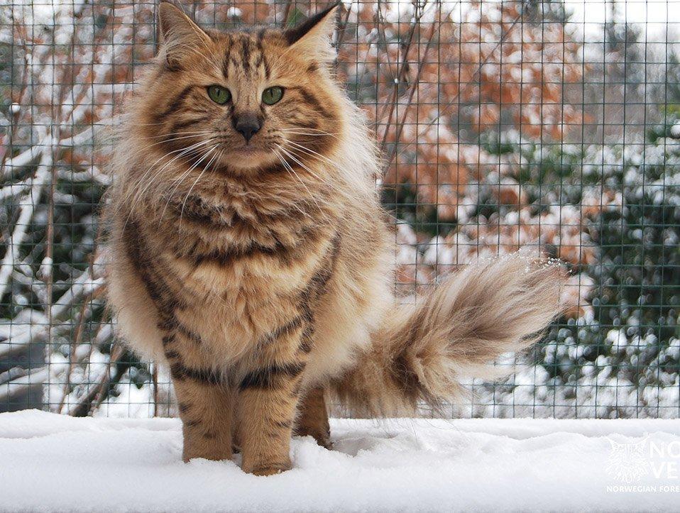 Vörös erdei macska a hóban
