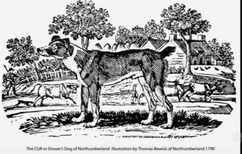 Ausztrál pásztor 1790-es ábrázolása Thomas Bewicktől, forrás: reddit.com
