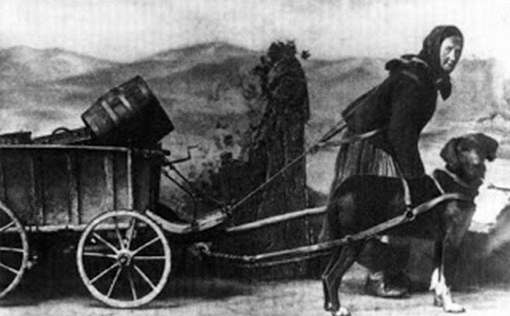 Szekér vontató Rottweiller