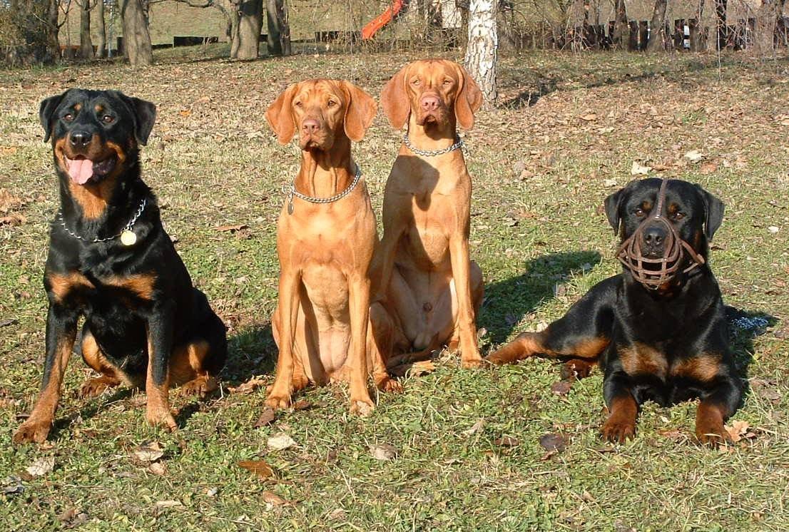 Rottweilerek és Vizslák