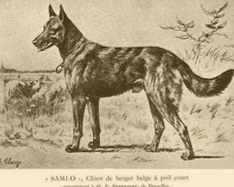 Salmo az egyik első regisztrált Belga juhászkutya, Salmo 1882-ben született. Forrás:working-dog.com