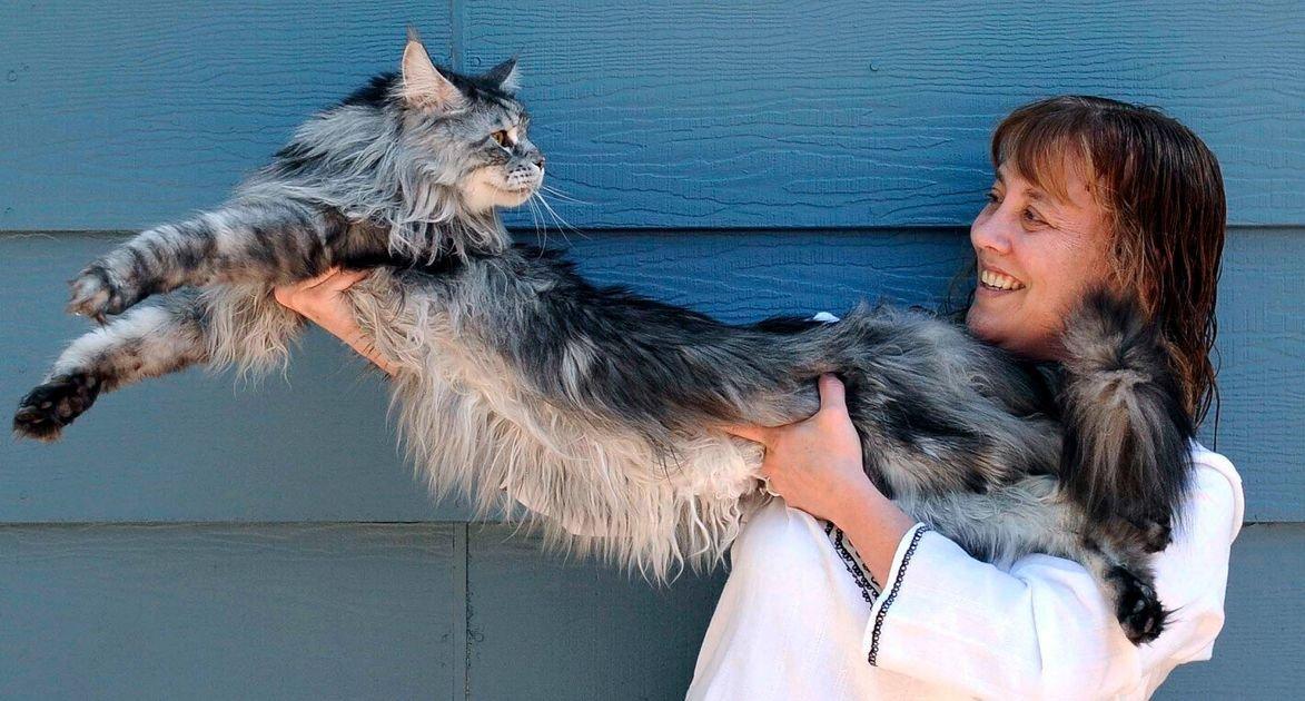Stewie a leghosszabb cica, forrás: huffingtonpost.co.uk