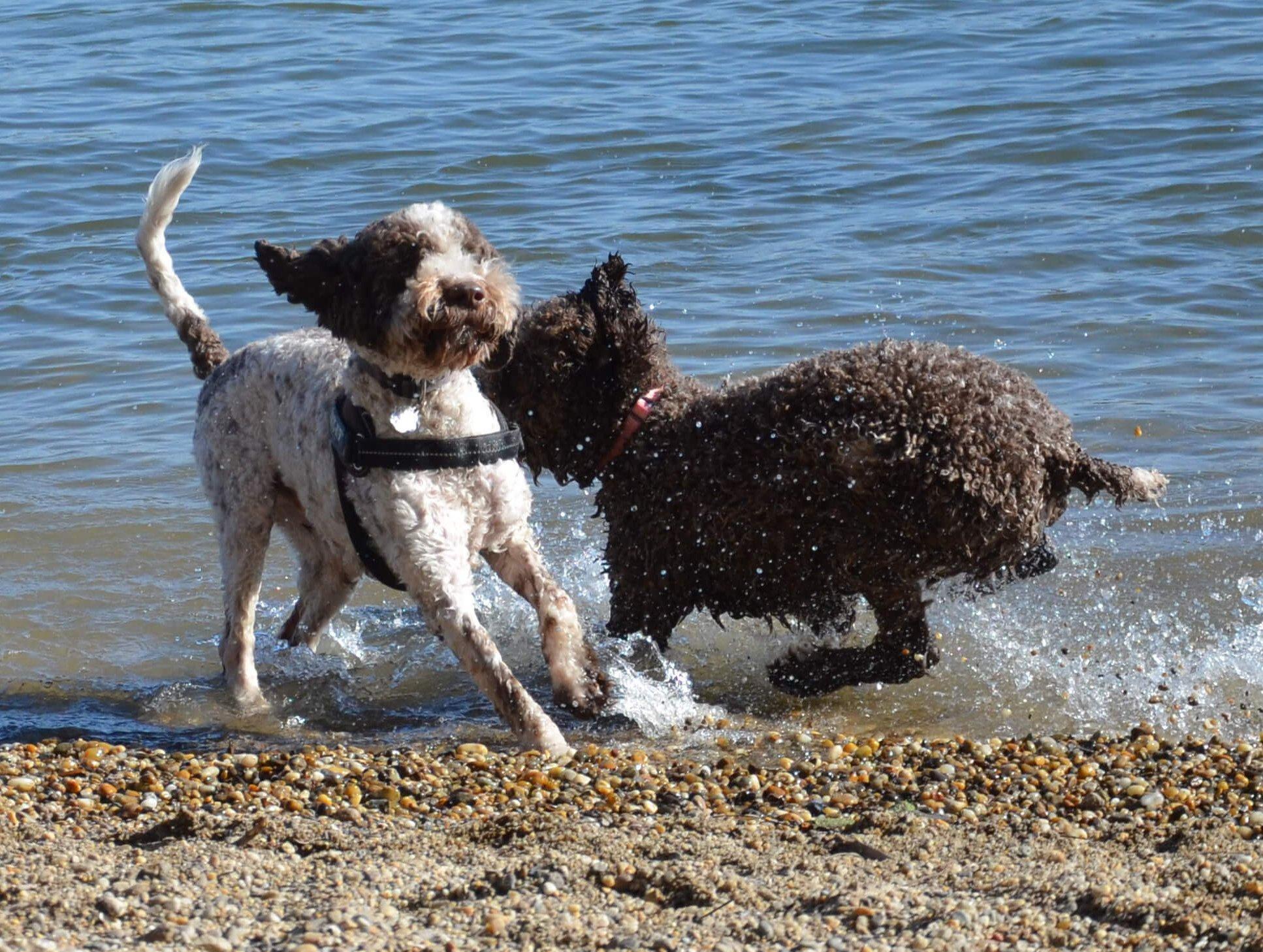Lagottok játszanak a parton