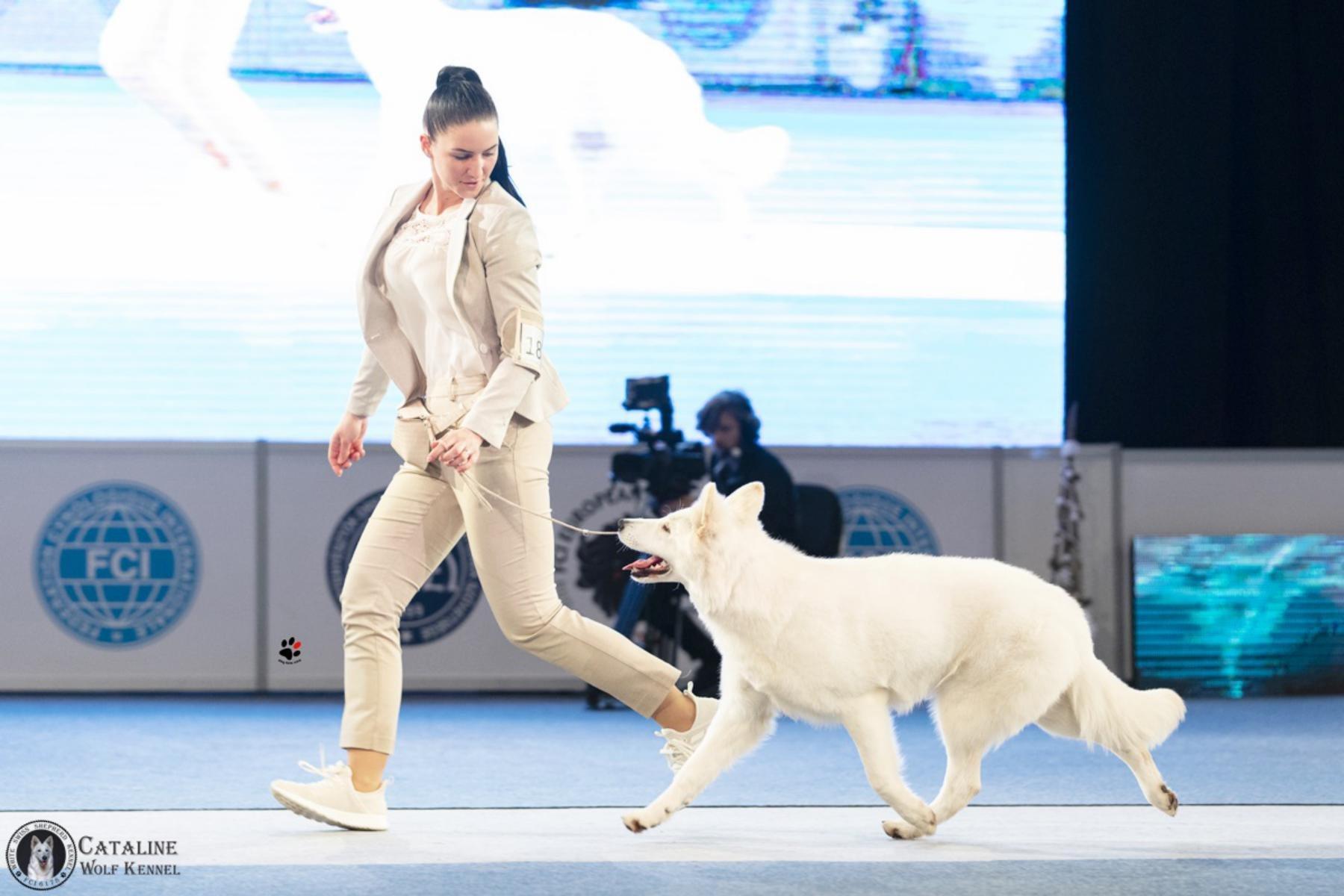 Kiállítási kutya felvezetés