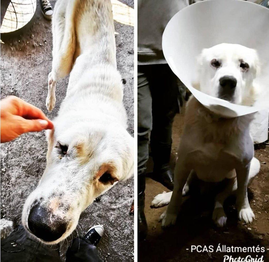 Mentett kutya szemműtét előtt és után