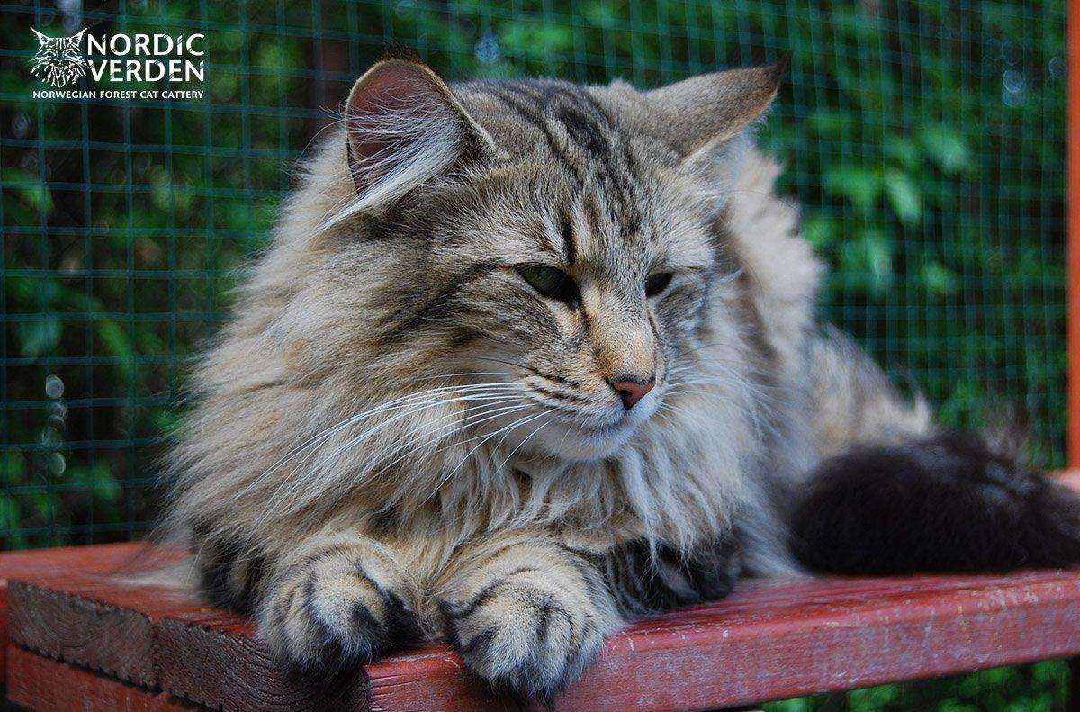 Norvég Erdei macska a macska kifutóban