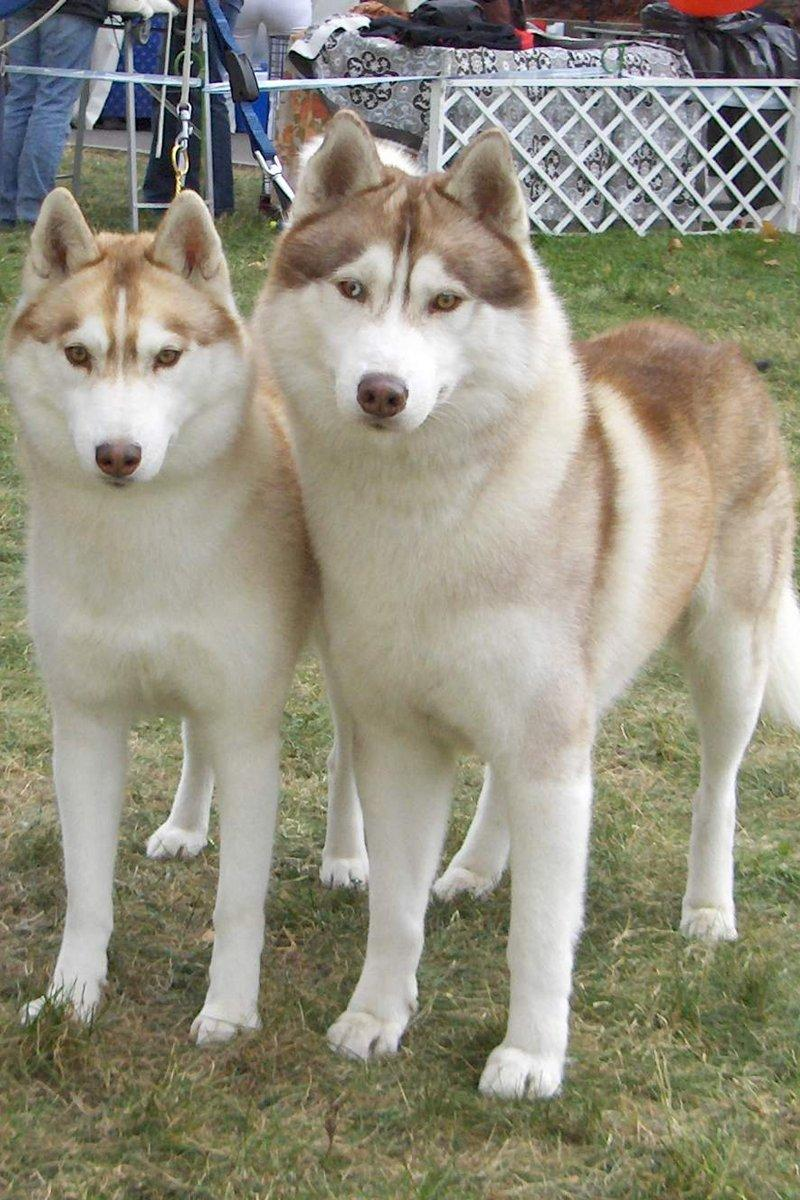 Szibériai Husky pár