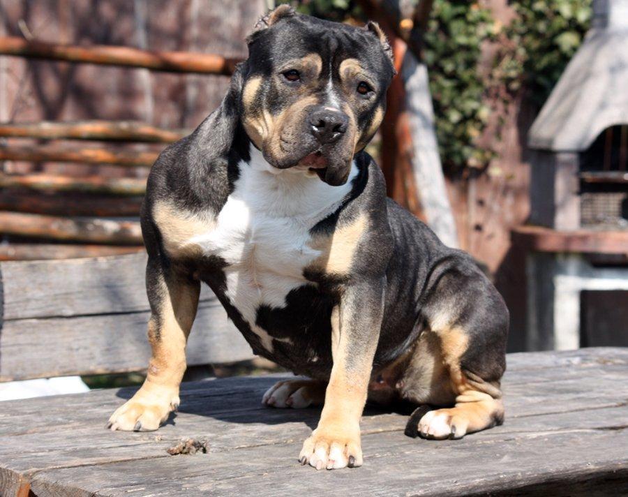 Standard bulltípusú kutya