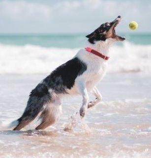 Tengerben labdázó kutya