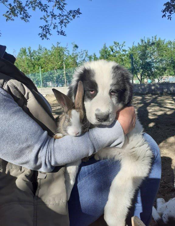 Bukovinai pásztorkutya nyuszival