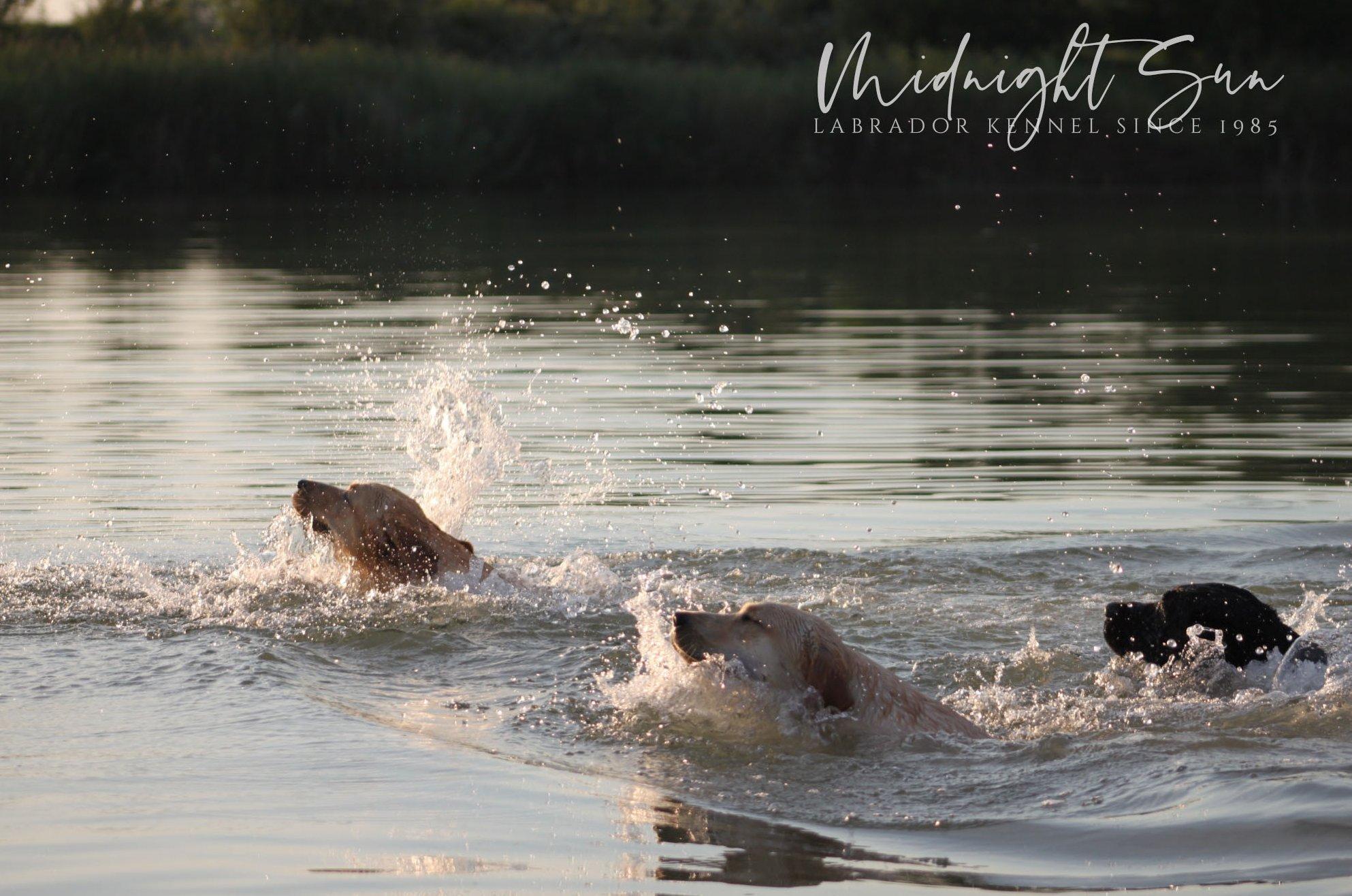 úszó labradorok