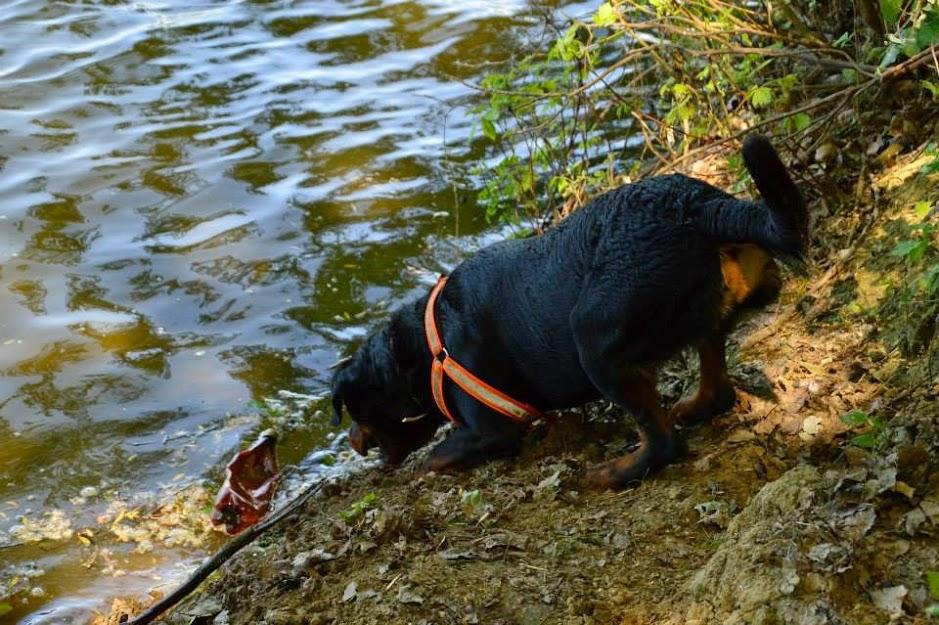 Rottweiler a vízparton