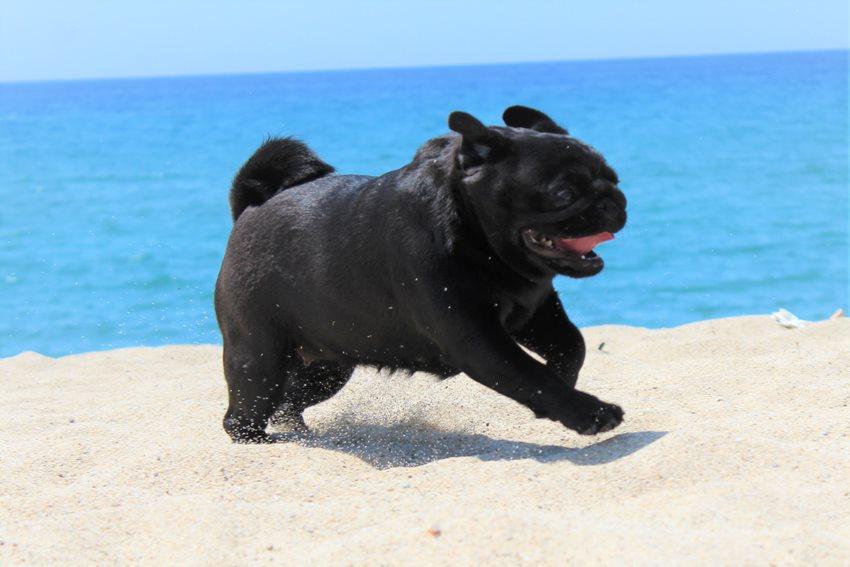 Fekete Mopsz szalad a tenger parton
