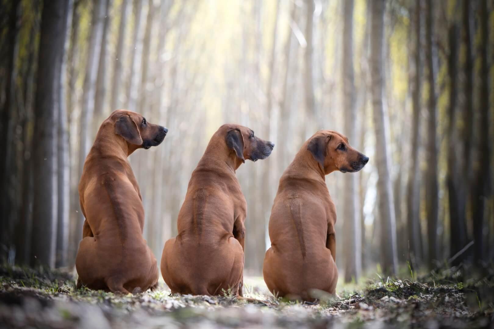 Három oroszlán vadász