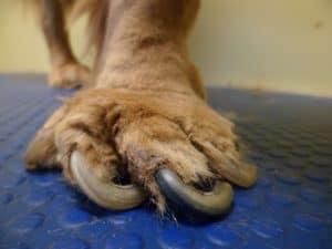 Forrás: poochywoochy.co.uk túl hosszú kutya karom
