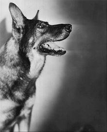 Rin Tin Tin, forrás:wikipedia.org