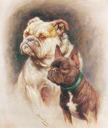 Angol és Francia bulldog