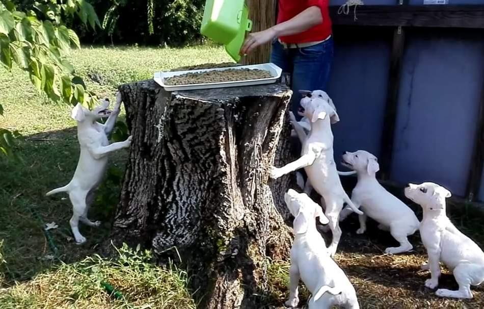 Kölyök kutyák etetése