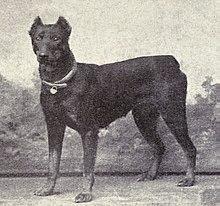 1915.-ös kép egy Dobermannról, forrás: wikipedia.org
