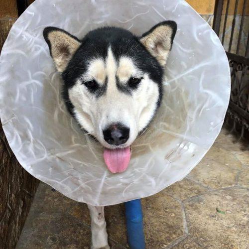 Kutya műtét után