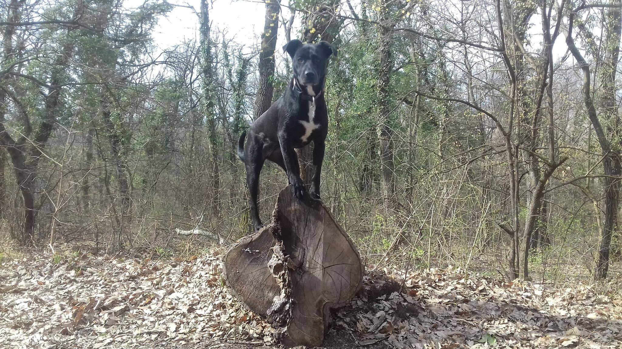 Sziklán álló kutya