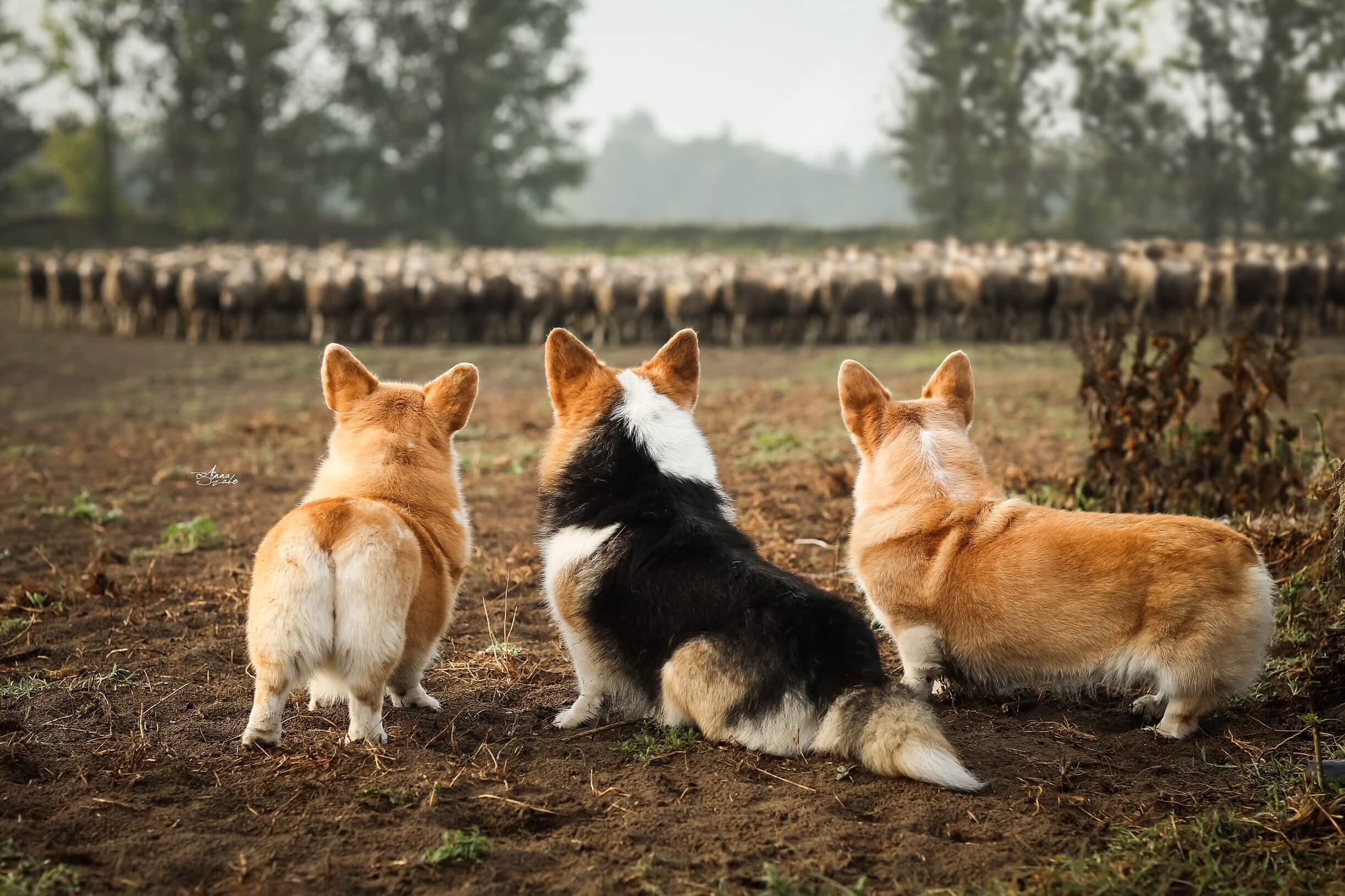 Pásztor kutyák
