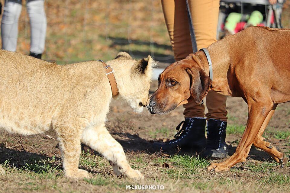 Oroszlán vadász oroszlán kölyökkel