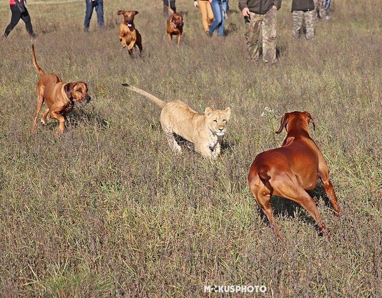 Oroszlán vadászok játszanak egy oroszlán kölyökkel