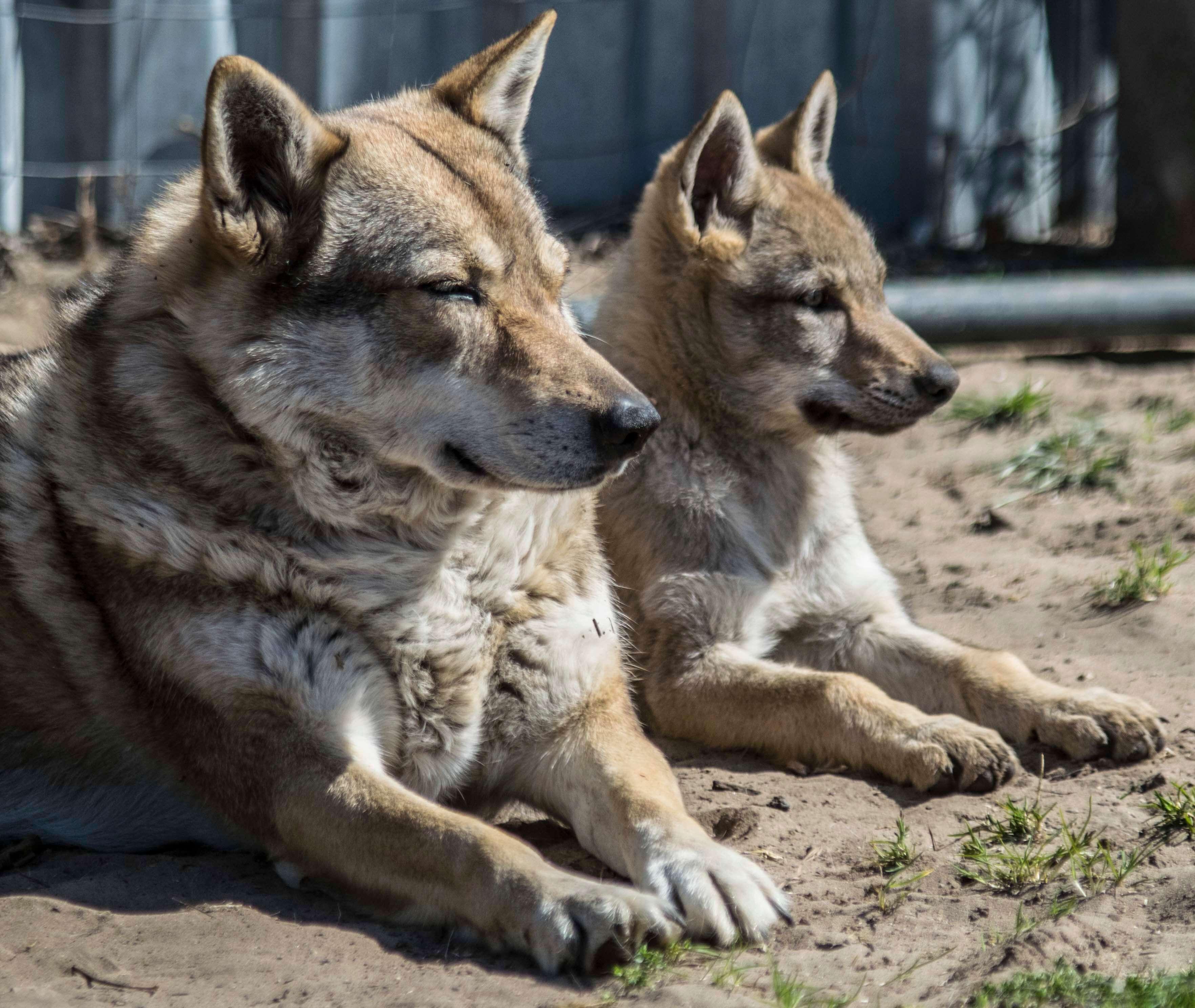 Pihenő Csehszlovák Farkaskutyák