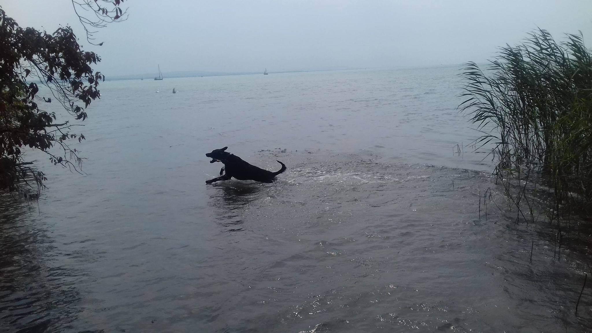 Vízben futó kutya